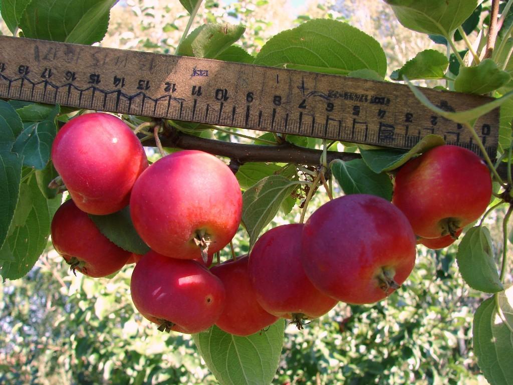 Яблоня полукультурка Дубровинка