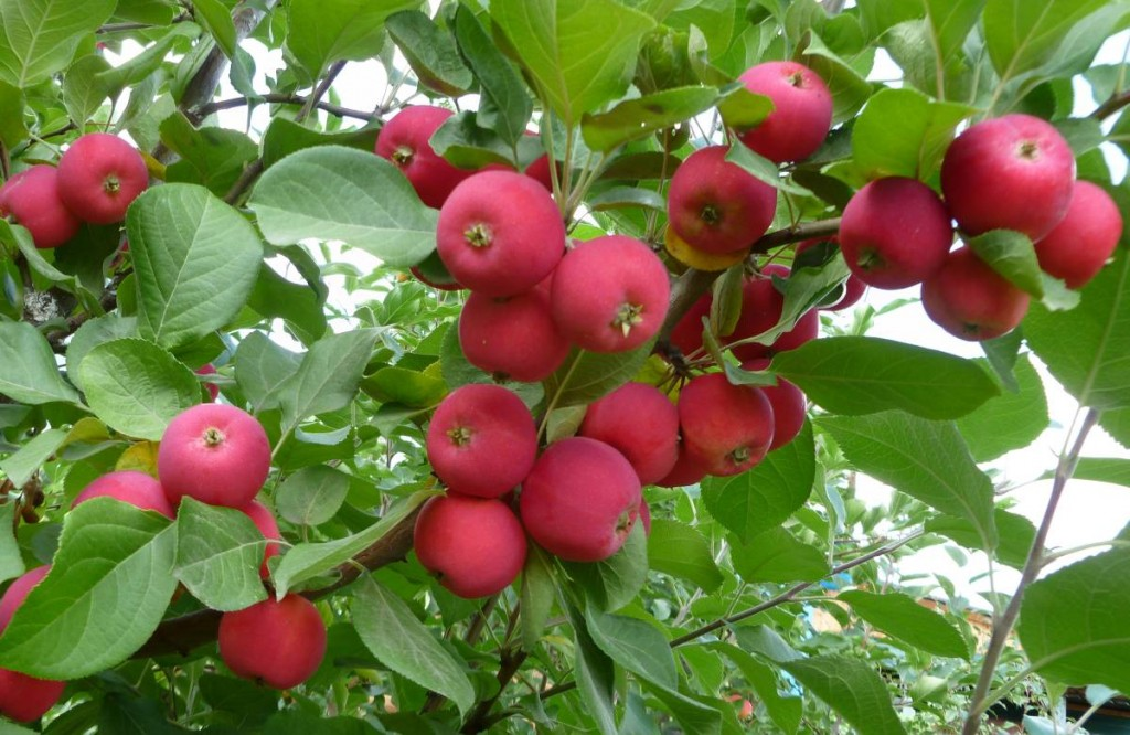 Яблоня полукультурка Краса Бурятии
