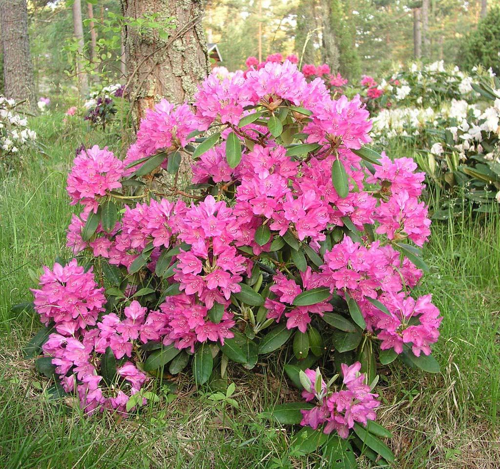 Рододендрон гибридный розовый