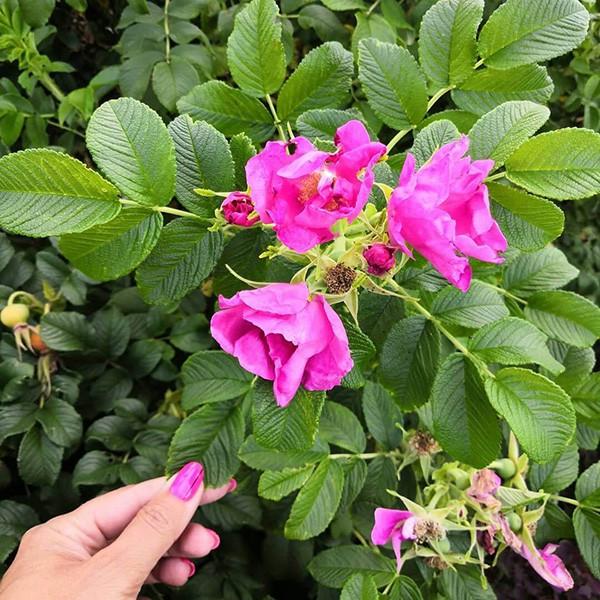 Роза ругоза Розовая