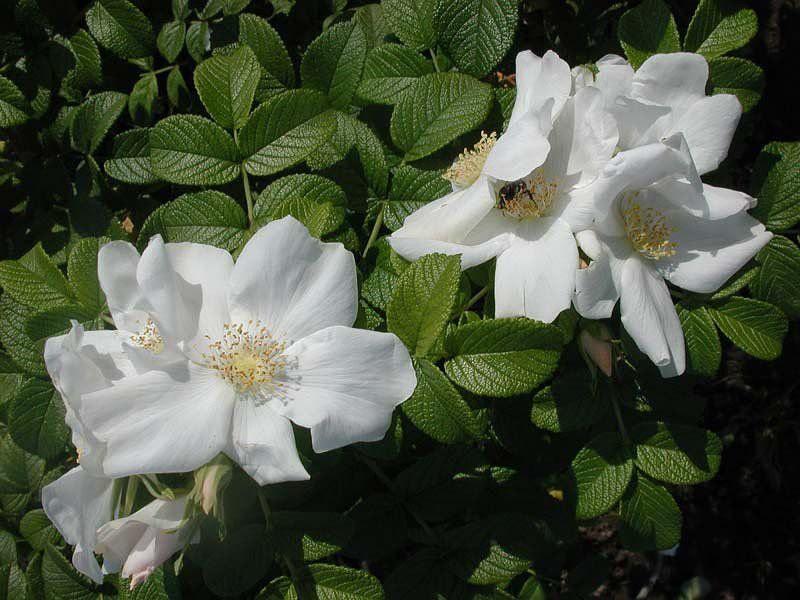 Роза ругоза белая